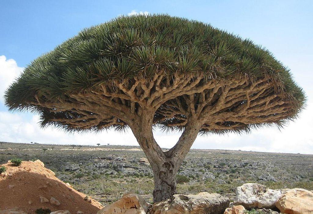 Drago de Socotra